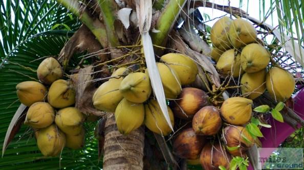 Kokosnüsse - Gardens by the Bay