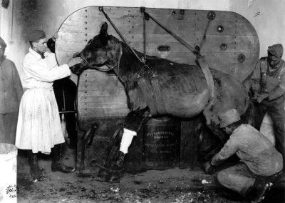 У пристегнутой лошади рана выстрела оперируется