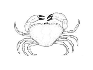 Miljolare.no: Underorden: Krabber (Brachyura)