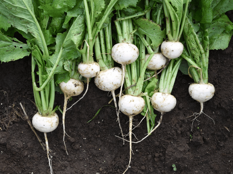 salad turnips fall garden crop