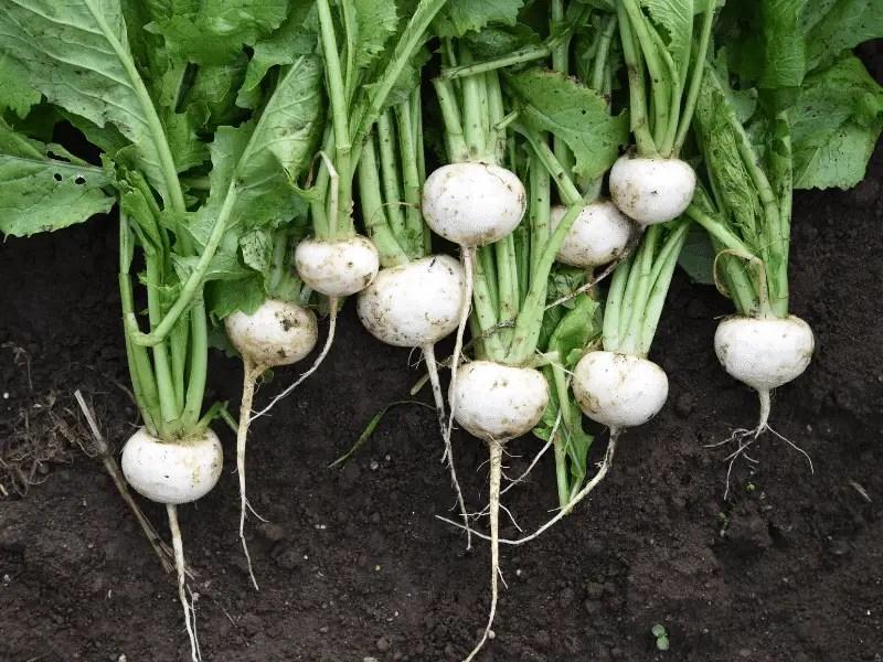 salad turnips fall garden crop