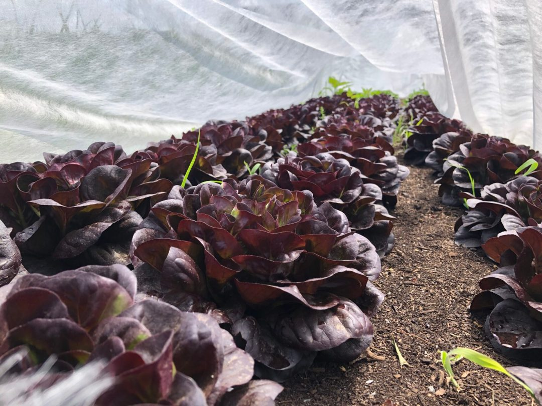 Red lettuce growing in Lowell, MA