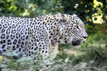 Leopardo Persiano