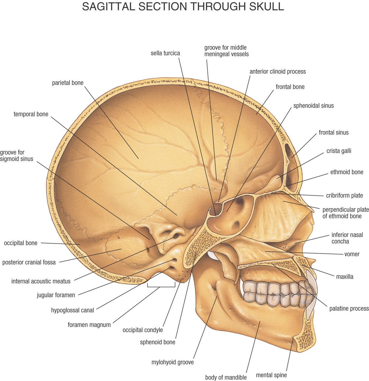 brain diagram sagittal view russound volume control wiring skull blank elsavadorla