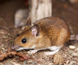 Deer Mouse - Miller Pest Control