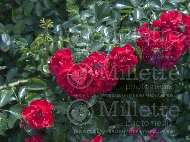 Rosa Flower Carpet Scarlet (Ground cover Rose) 2