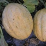Melon ancien Vieille France, graines bio / semences bio
