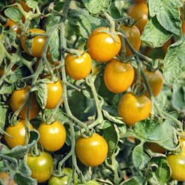Tomate Green en Grappes