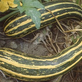 Courge Coucourzelle