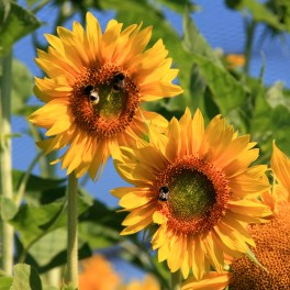 Tournesol Californien