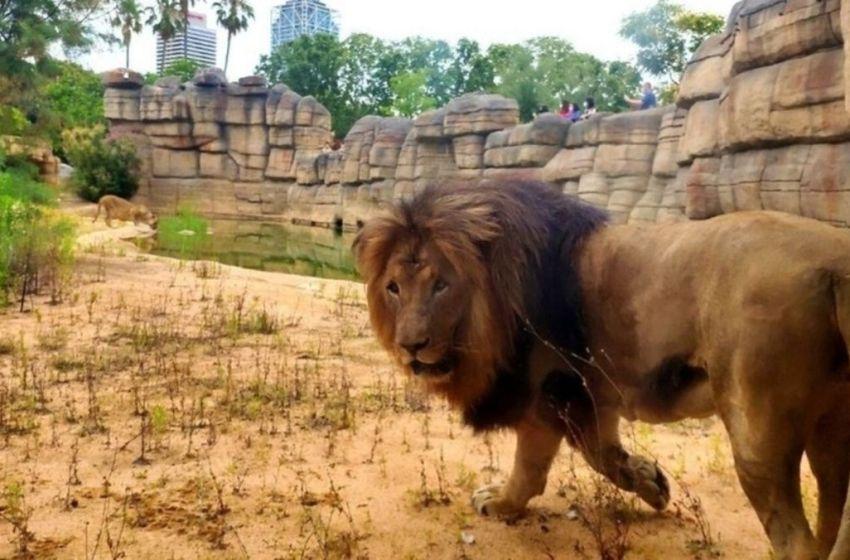 Dan positivo por coronavirus, los leones del zoológico de Barcelona