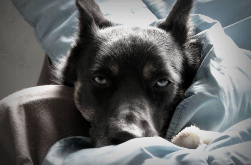 Conoce que es la Cardiomiopatía Dilatada en perros y sepa cómo tratarla