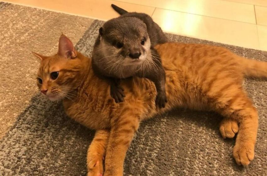 Conoce la increíble amistad de una Nutria y un gatito que tiene cautivados a muchos