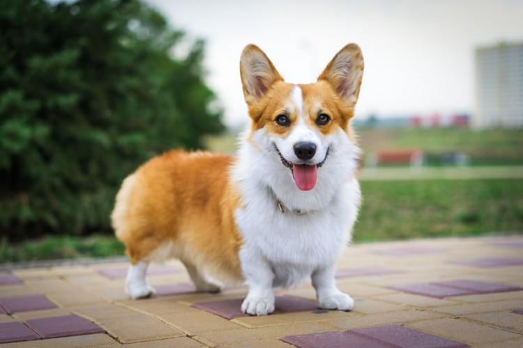 人気の中型犬の種類は? 中型犬の特徴や飼い方のポイントに ...