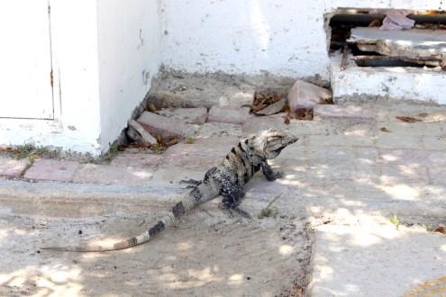 Holbox-iguana-Leguan