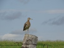 Upland Sandpiper. You could also call this a fencepost bird since that's where they seem to like to hang out.