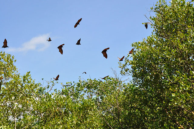 Giant bats fly over lush mangrove trees in Tabuk Island off Palompon, Leyte in this photo taken March 2012.  Over a hundred thousand bats used to roost in Tabuk Island, but most of them flew elsewhere when Typhoon Yolanda hit the island. Photo courtesy of Raoul Bacalla / MENRO-Palompon