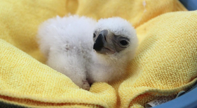 Chick # 26 at 2 days old. The still unnamed Philippine Eagle hatched on December 7, 2015 at the Phlilippine Eagle Center in Malagos, Calinan, Davao City. Photo courtesy of the Phlippine Eagle Foundation