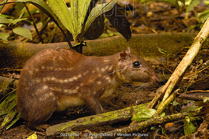 In this segment, only those plants are growing that need less sunlight. Minden Pictures Paca Agouti Paca On Forest Floor Amazon Rainforest Ecuador Pete Oxford