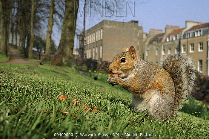 Image result for eastern gray squirrel in england