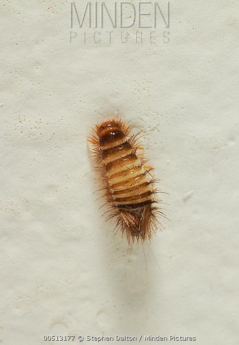 dalton sofa bed wooden set in philippines carpet beetle larvae on wall – floor matttroy