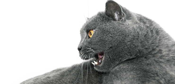 grey-haired cat hissing