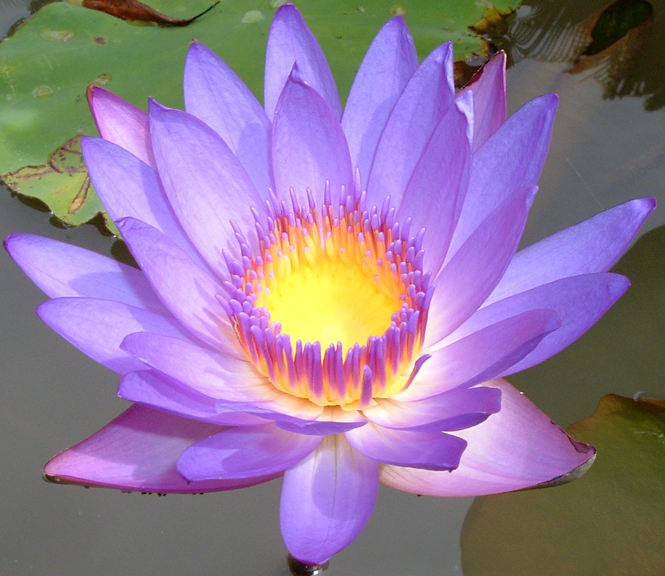 mindful inspirationsthe lotus flower  out of the mud  muck, Beautiful flower