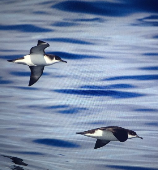 September: The truly wonderful Manx Shearwater.