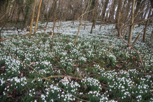 Snowdrops. Cherington Lake.