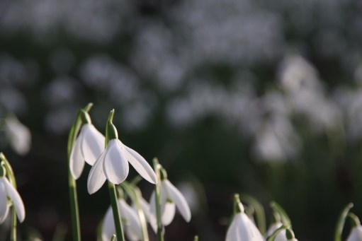 Snowdrops at Cherington Lake.