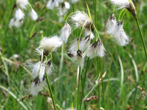 Austria: Cotton grass.