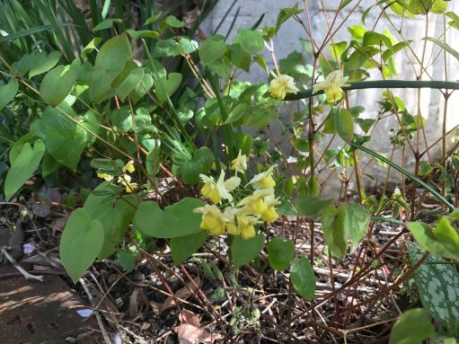 Laurel Cottage: Epimedium. Ground cover - shade lover.