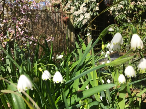 Laurel Cottage: Leucojum.