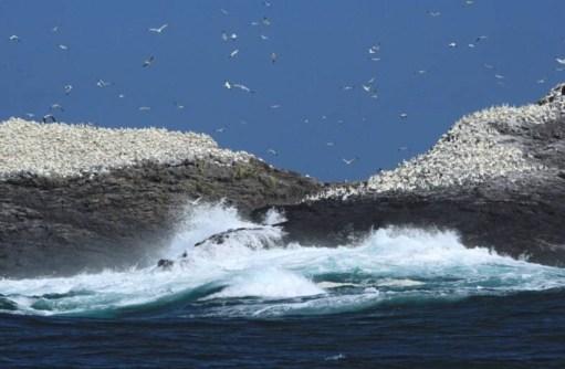 Kenny Birdringer: Grassholm Island.