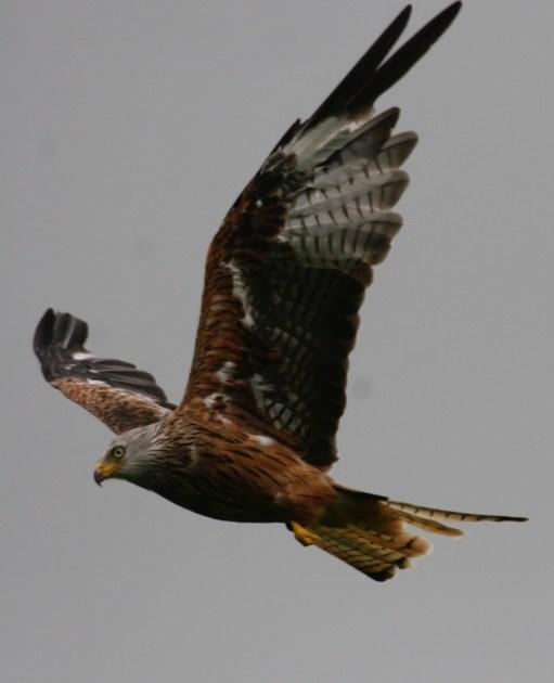 Gigrin Farm: Red Kite in full flight.