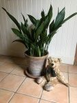 The Biggest Aspidistra in the World … Maybe.