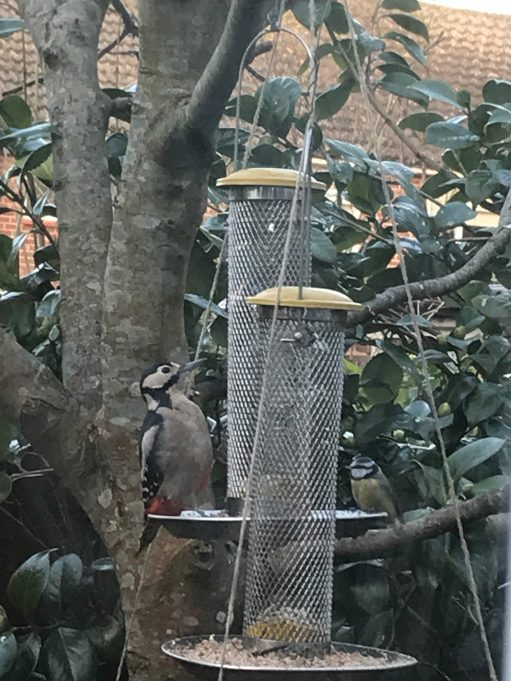 The Kitchen Window: Great spotted woodpecker and a tough little blue tit.