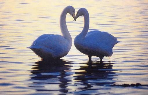 salut d'amour: Bewick swans at Slimbridge.