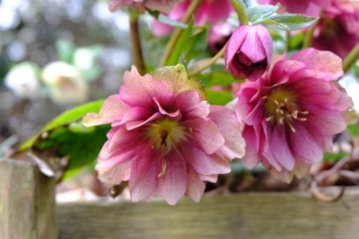 Just Two Hours: Hellebores.