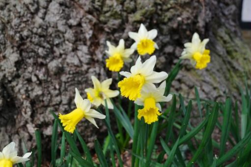 Just Two Hours: Early daffodils.