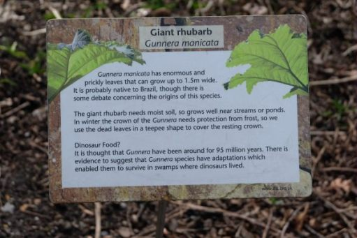 Just Two hours: Information on the Giant Rhubarb - Gunnera Manicata.