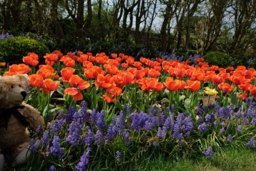 Dunsborough Park Gardens: Glorious orange tulips set off by an edging of muscari (grape hyancinths).