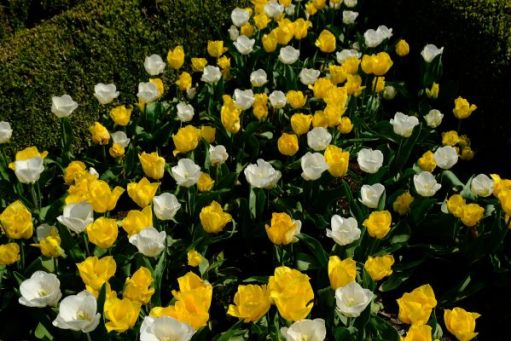 Dunsborough park Gardens: More yellow and white tulips.