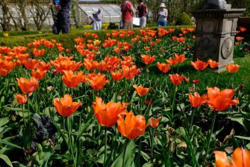 Dunsborough Park Gardens: Orange tulips again. Magnificent.
