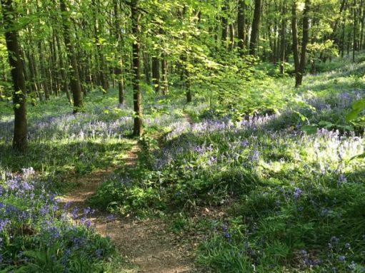 Frank's Walk: Tiptoe through the bluebells...