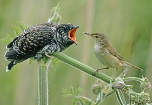 Baby Cuckoo already bigger than its unsuspecting parent Reed Warbler.