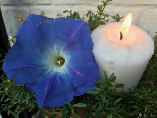 "Dahlia Day: Lighting a Candle for Diddley - This is Ipomea ""Heavenly Blue""."