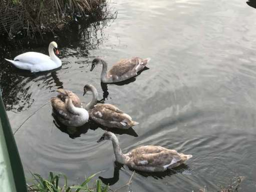 Finding Serenity: Four cygnets and mum.