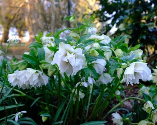 Cotswold Reverie: Double Hellebore.
