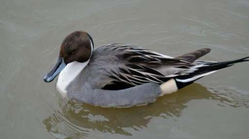 Tick tock. Gor. Luv-a-duck. Pintail.
